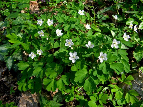 Isopyrum thalictroides L.